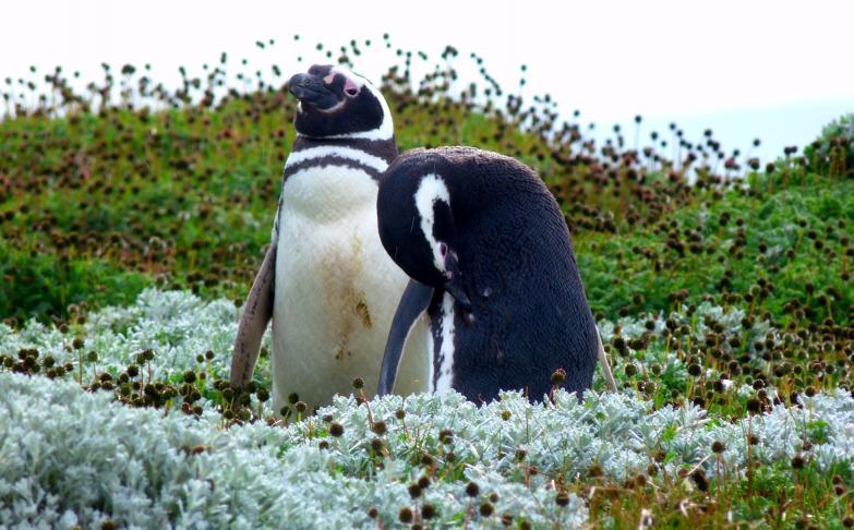 Pingouins sur Punta Arenas
